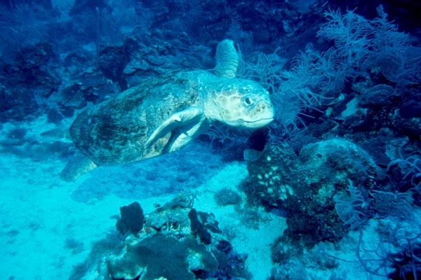 Grace full Loggerhead cruising the reef
