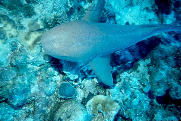 A small nurse shark cruises the reef