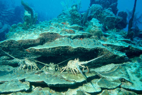 Three lobsters use the Reef for shelter