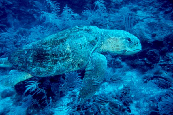 A large Loggerhead Shows us how he got his name